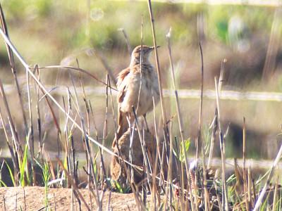 eastern long-billed lark (Certhilauda semitorquata)