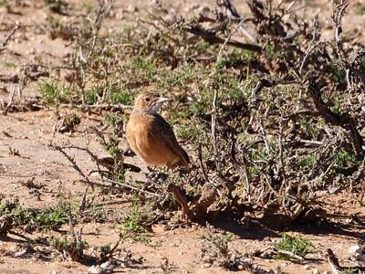 spike-heeled lark (Chersomanes albofasciata)