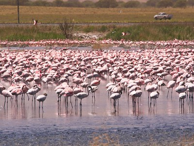 Mixed Flock greater flamingo (Phoenicopterus roseus) & lesser flamingo (Phoenicopterus minor)