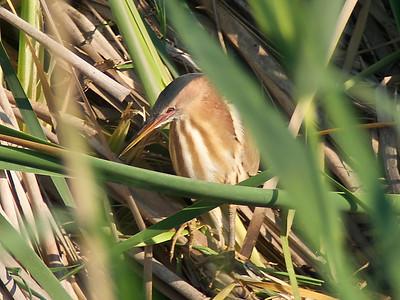 little bittern (Ixobrychus minutus)