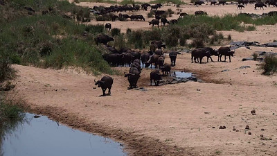 Cape Buffalo on the Move