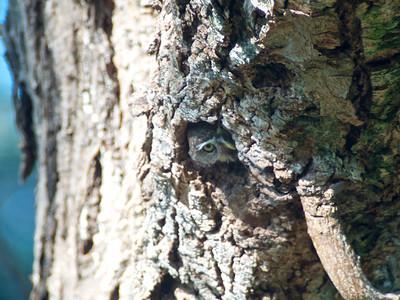 pearl-spotted owlet (Glaucidium perlatum)