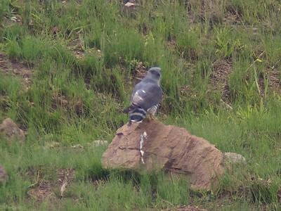 African cuckoo-hawk (Aviceda cuculoides)
