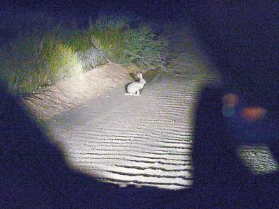 scrub hare, (Lepus saxatilis)