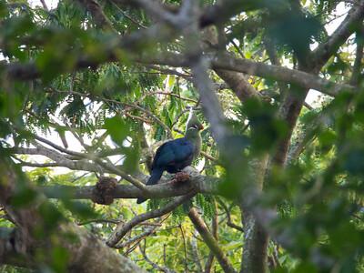 Knysna turaco (Tauraco corythaix)