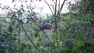 Hippo Sneaking  By