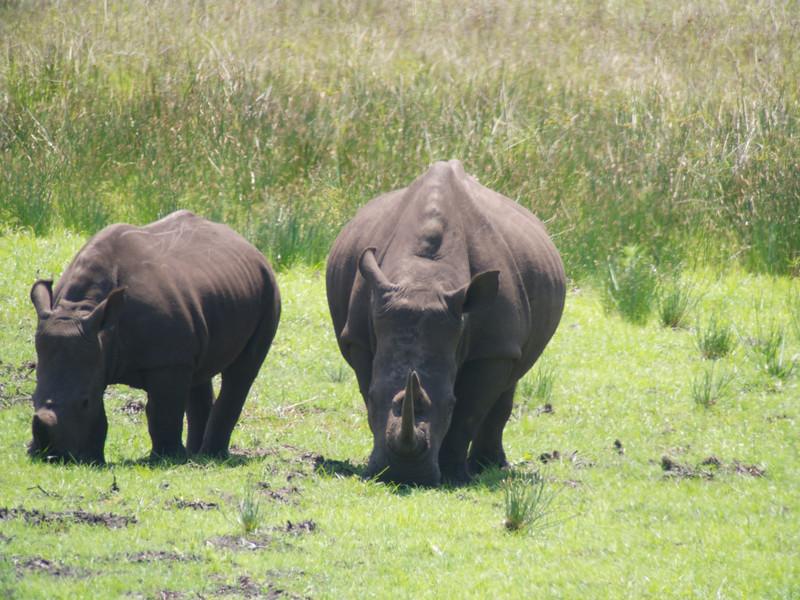 African Square-lipped ( White) Rhino
