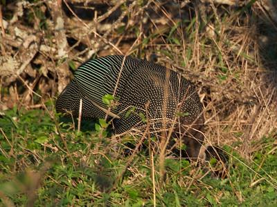 Crested guineafowl (Guttera pucherani)