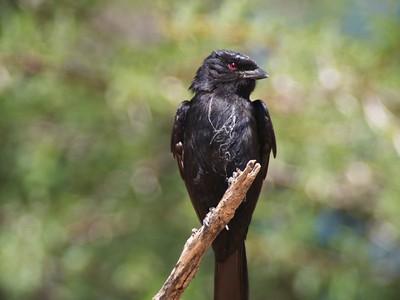 fork-tailed drongo (Dicrurus adsimilis)