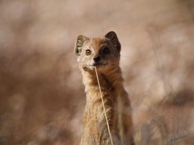slender mongoose (Galerella sanguinea),