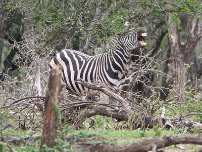 plains zebra (Equus quagga, formerly Equus burchellii)