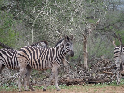 plains zebra (Equus quagga, formerly Equus burchellii)