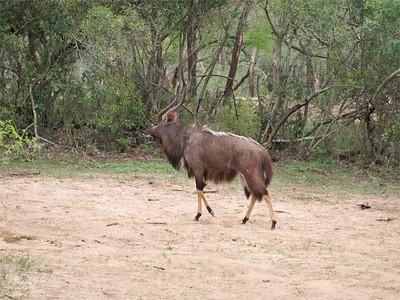 nyala (Nyala angasii or Tragelaphus angasii)