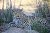 Adult_Leopard_MalaMala_2016_0028