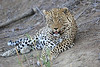 Adult_Leopard_MalaMala_2016_0020