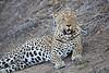 Adult_Leopard_MalaMala_2016_0032