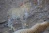 Adult_Leopard_MalaMala_2016_0025
