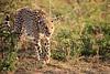 Cheetah_Adventure_Phinda_2016_0043