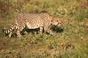 Cheetah_Adventure_Phinda_2016_0010