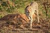 Cheetah_Adventure_Phinda_2016_0032