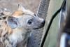 Hyena_Phinda_2016_0017