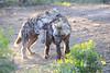 Hyena_Phinda_2016_0022