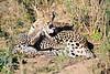 Leopard_Cubs_MalaMala_2016_0375