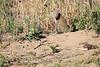 Leopard_Cubs_MalaMala_2016_0370