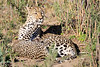 Leopard_Cubs_MalaMala_2016_0366