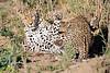Leopard_Cubs_MalaMala_2016_0367