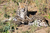 Leopard_Cubs_MalaMala_2016_0378
