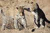 Leopard_Cubs_MalaMala_2016_0385