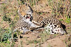 Leopard_Cubs_MalaMala_2016_0377