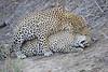 Leopard_Sex_MalaMala_2016_0066