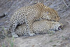 Leopard_Sex_MalaMala_2016_0065