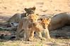Lion_Cubs_MalaMala_2016_0043