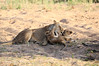 Lion_Cubs_MalaMala_2016_0026