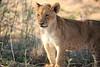 Lion_Cubs_MalaMala_2016_0069