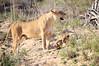 Lion_Cubs_MalaMala_2016_0014