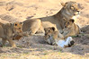 Lion_Cubs_MalaMala_2016_0036