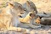 Lion_Cubs_MalaMala_2016_0051