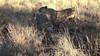 Tswalu lion cubs