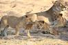 Lion_Cubs_MalaMala_2016_0037