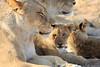 Lion_Cubs_MalaMala_2016_0067