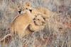 Lion_Cubs_Tswalu_2016_0017