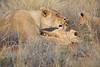 Lion_Cubs_Tswalu_2016_0047