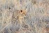 Lion_Cubs_Tswalu_2016_0008