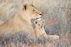 Lion_Cubs_Tswalu_2016_0004