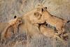 Lion_Cubs_Tswalu_2016_0049