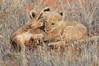 Lion_Cubs_Tswalu_2016_0013